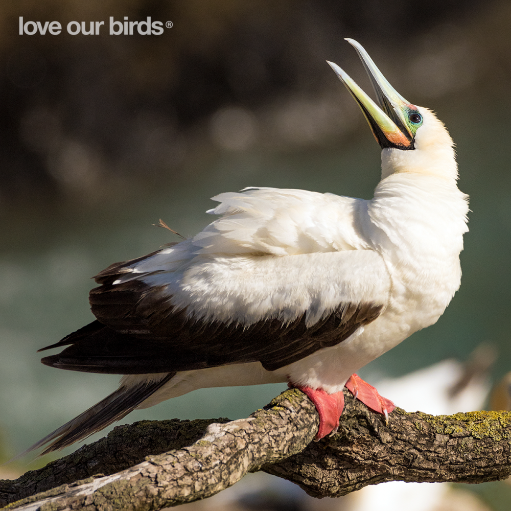 Red-footedBooby