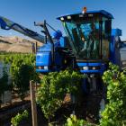 Harvesting Sauvignon Blanc