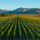 Marlborough vineyard scene