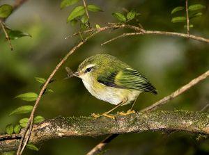 Rifleman, NZ's smallest bird