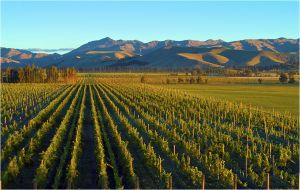 Marlborough vineyard scene