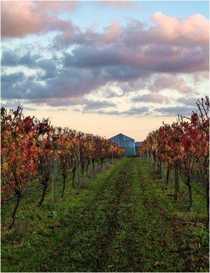 Clevedon vineyard scene